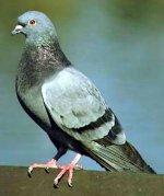 pigeon1.jpg